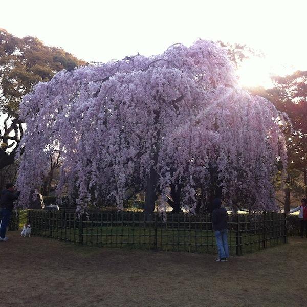 Sakura_20170405